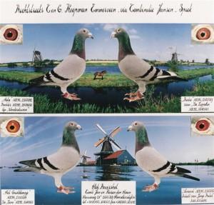 4 Rechtstreekse Koopman duiven Uitgeleend aan Karin en Jan den Haan. Heb ze later geschonken